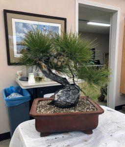 Ponderosa Pine 2019 April